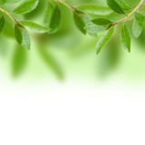 Green leave. With white background Royalty Free Stock Image