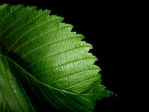 The green leave. A birch leave in the late evening is very beautiful Royalty Free Stock Photo