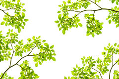 Green leave background. Green leave on white background Stock Image