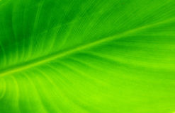 Green leave background. Beautiful green leaves in sun light Stock Photography