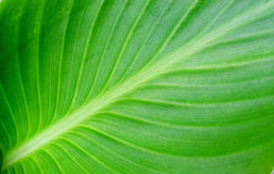 Green leave background Royalty Free Stock Photo