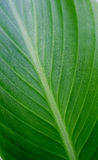 Green leave background Royalty Free Stock Photos