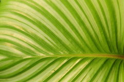 The green leave background. The green leave of a Maranta royalty free stock images