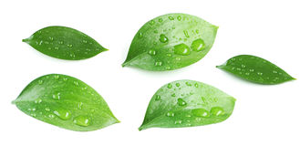 Green leave Royalty Free Stock Image