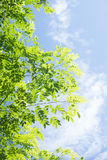 Green leave with blue sky and cloud background Royalty Free Stock Photos