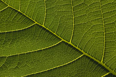 Green leave close up. Extreme close up of green leave stock photo
