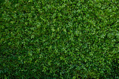 Green leave cover the wall Royalty Free Stock Photo