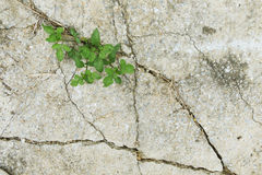 Green leave. In dried cracked mud Royalty Free Stock Photos
