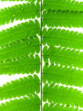 Green Leave of Fern Stock Photos