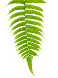 Green Leave of Fern Royalty Free Stock Image