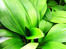 Green leave Royalty Free Stock Photography