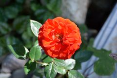 Red rose in the garden. Nice flowers in the garden in midsummer, in a sunny day. Green landscape. Green leave in the garden, in springtime. Green landscape and stock photo