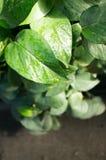 Gossypium herbaceum Stock Images