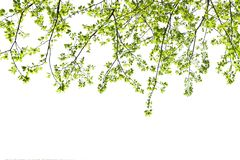 Green leave isolate on white. Background royalty free stock image