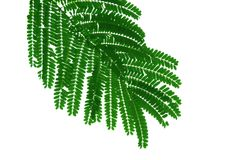 Green leave of mimosa tree. It that have tiny leaves, Assembly is a single leaf. Style and shape isolated on white background stock photos