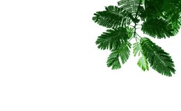 Green leave of mimosa tree. It that have tiny leaves, Assembly is a single leaf. Style and shape isolated on white background royalty free stock photo