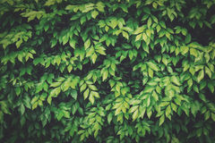 Green leave for natural background Royalty Free Stock Image