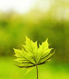 Green Leave Over Abstract Blurred Background Royalty Free Stock Photo