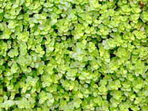 Free Green Leave Texture Stock Image - 4723181