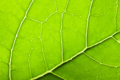Green leave texture Royalty Free Stock Image