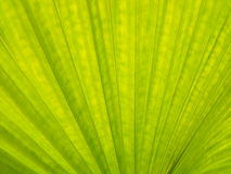 Green leave texture. Close up of tropical green leaf texture use as a background Stock Photography