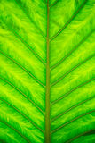 Green leave texture. Horizontal saturated green leave texture for background Stock Photos