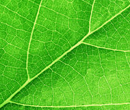 Green leave texture Stock Images