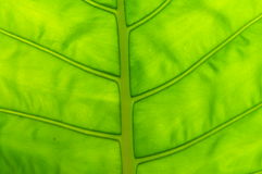 The green leave with venations Stock Photos