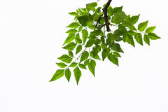Green leave on white background. Isolated green leave on white background Royalty Free Stock Photo