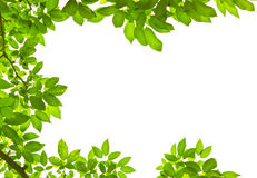 Green leave on white background Royalty Free Stock Photography