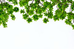 Green leave on white background Stock Photos