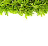 Green leave on white background Stock Photography