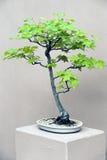Green leaved Bonsai tree in white pot Royalty Free Stock Photo