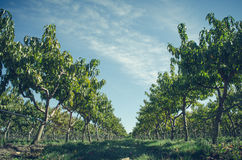 Green Leaved Trees Along Soil Ground Road Royalty Free Stock Photos