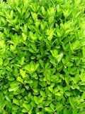 Green leaves. Brightly green leaves of an unknown plant. A background Royalty Free Stock Photo