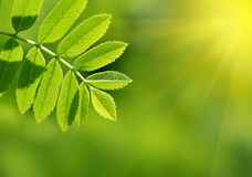 Green leaves. Nice green leaves, shallow focus Stock Images