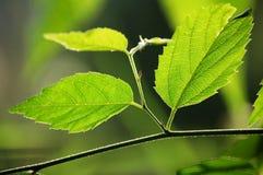 Green Leaves. Under sun light Royalty Free Stock Photos