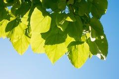 green leaves arkivbild
