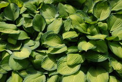 Green leaves. Sunny light and dark green leaves stock images