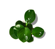 Green leaves. With water droplets white background Royalty Free Stock Photo