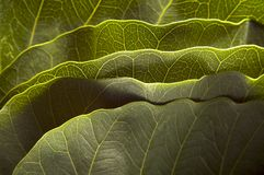 Green leaves. Closeup of green peepal leaf Stock Photo