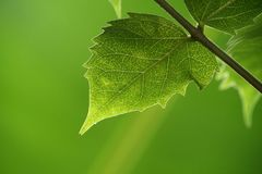 Green leaves. On a green background Stock Photo