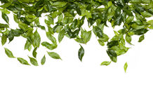 Free Green Leaves Stock Photo - 12894240