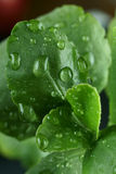 Green leaves. Of plant with raindrops Royalty Free Stock Image
