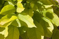 Green leaves. Bunch of green leaves under the sun Royalty Free Stock Images