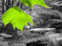 Green Leaves. At Hebron Rock Colony Royalty Free Stock Images
