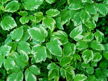 Green leaves. The background of green leaves Stock Images