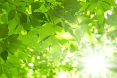Green leaves. Beautiful green leaves and bright sun Royalty Free Stock Images