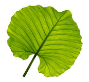 Green leaves. The green leaves on white background Stock Photo