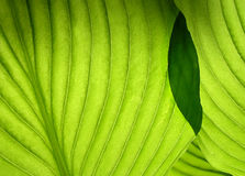 Green leaves. Green overlaping leaves Royalty Free Stock Photography